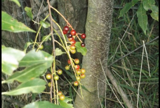 A mixed shot. Some sort of berry. Tree. Leaves.