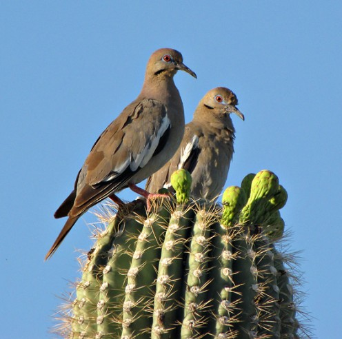 Two White-winged Doves perching on a cactus in Tucson, Arizona.