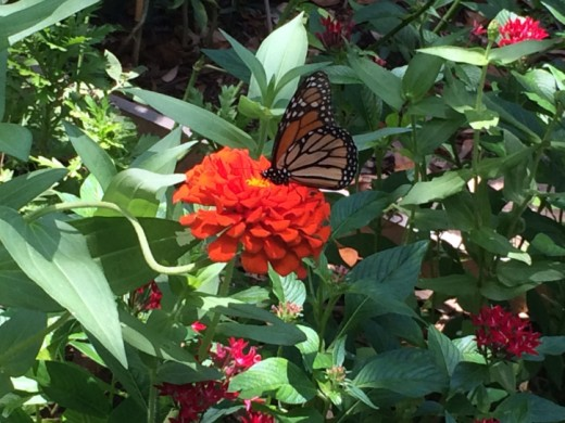 Host Plants Are Required For A Healthy Thriving Butterfly Garden In Florida