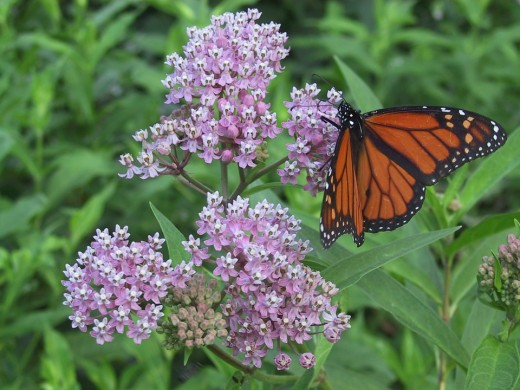 monarchs use milkweed as their host plant here one is seen perched on blooming - Florida Butterfly Garden
