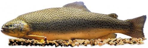 Apache trout