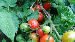 Heirloom Tomatoes: How to Grow and Save Their Seed