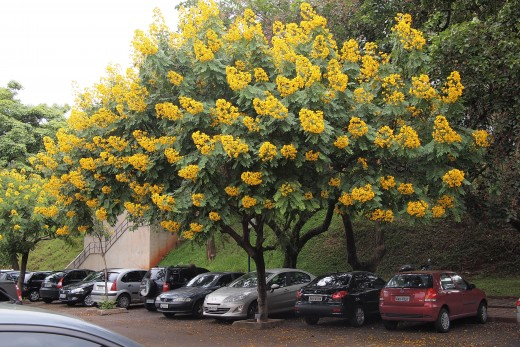 A beautiful cassia in bloom - the host plant for 3 types of butterflies.