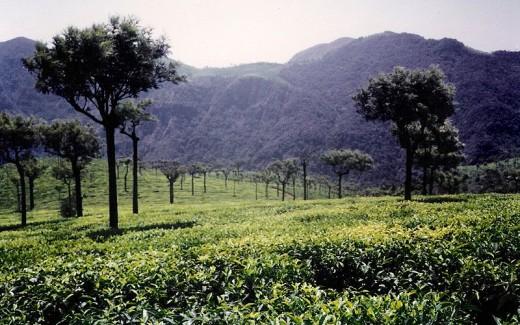 Tea Garden in Ooty, India
