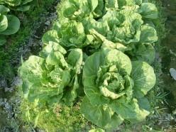 Growing Kale--Queen of Garden Greens