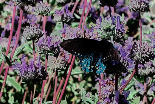 The pipevine swallowtail loves to nectar from the salvia blooms.