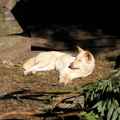 Australian dingoes often solve problems in packs. Above, an Australian dingo enjoys the sun at Taronga Zoo in Sydney,