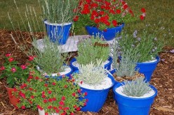 Plant and Grow Lavender