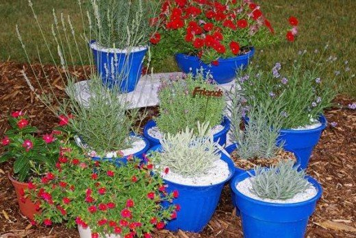 Lavender in Pots for 10 Weeks