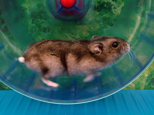 Hamster wheels offer a source of enrichment for your active companion.