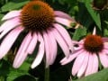 Growing and Using Echinacea Purpurea