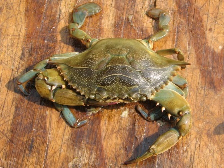 live peeler crab - top view