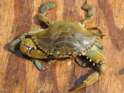 live peeler crab - top view