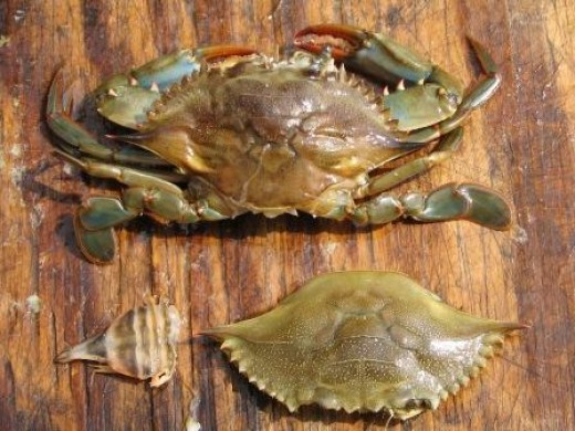 peeler crab - shell removed