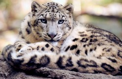 Everything You Need to Know About Snow Leopards