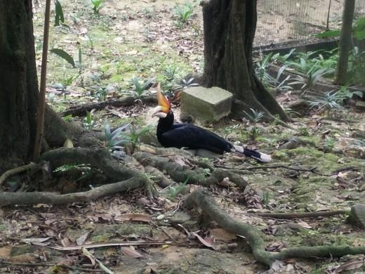 Hornbill at the KL Bird Park.