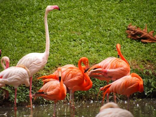 Flamingos at Zoo Negara.