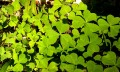 Get A Shamrock Plant For St. Patrick's Day
