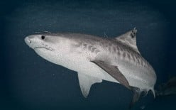 Reasons for Declining Shark Populations