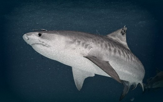 A Tiger Shark with tag, taken after dark off the northern coast of Australia.
