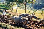 Working Thai buffaloes