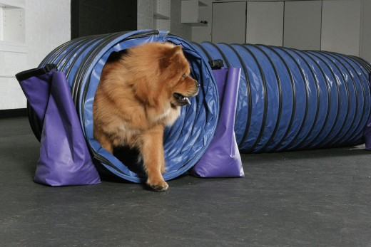 By Andrea Arden (Flickr: Dog Agility) [CC BY 2.0 (http://creativecommons.org/licenses/by/2.0)], via Wikimedia Commons