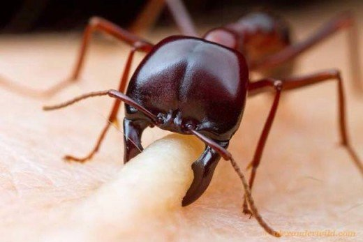 African Driver ant biting a human