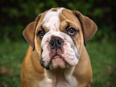 A nice English Bulldog