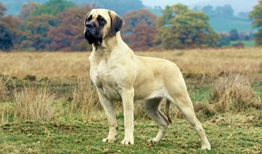 A Strong Mastiff