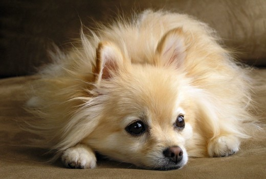 Pomeranian with Pointed Ears