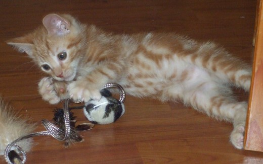Adorable kitten at eight weeks of age.