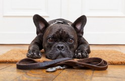 How to Begin a Dog Walking Business