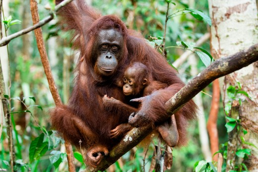Orangutans are just one of hundreds of species being threatened by the global demand for palm oil.