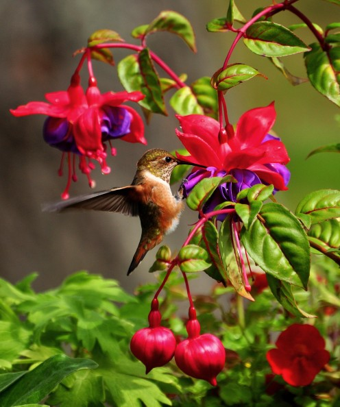 Without hummingbirds some of the nectar-producing flower species would eventually become extinct.