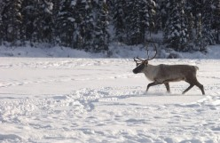 Michipicoten Caribou Relocated, Sudbury Blood Donors Needed — Northern Ontario Today