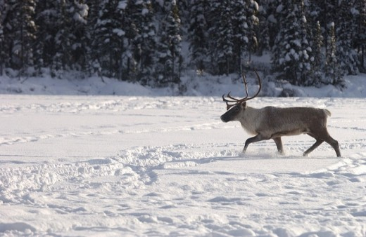 The Ministry of Natural Resources and Forestry is relocating caribou from Lake Superior's Michipicoten Island.