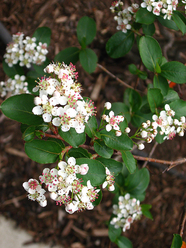 Aronia melanocarpa in bloom. Photo by Linda N.
