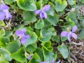 Violets, One Of The First Signs Of Spring