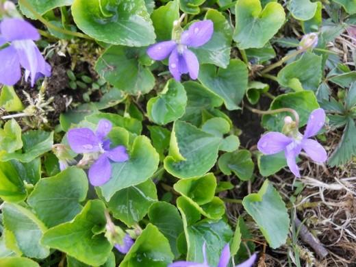 Wild Purple Violets