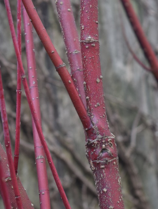 Red Twig Dogwood's bark turns from summer brown to red in winter.