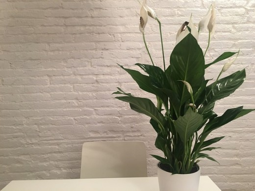 Peace Lily (Spathiphyllum).