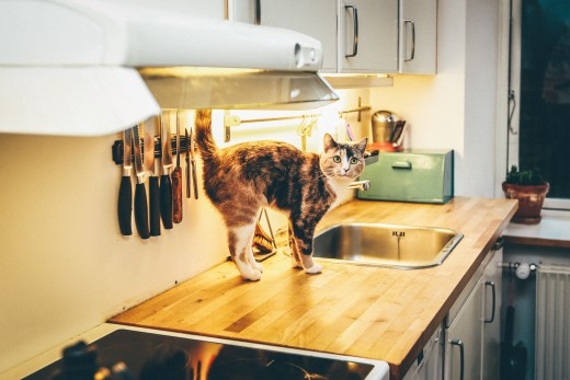 An example of a Food Worker cat, meaning every cat, making sure dinner is on its way.