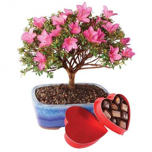 "This is an azalea bonsai. Azaleas mean ""take care of yourself for me"""