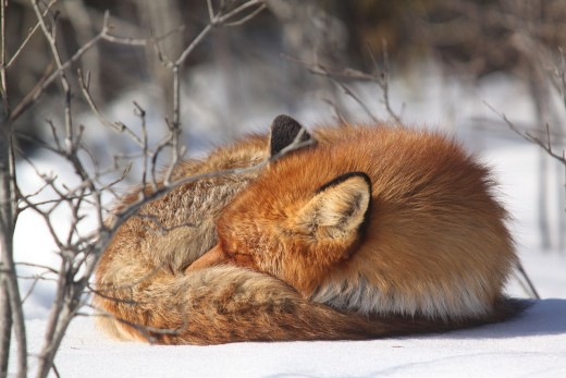 A sleeping fox. I have never known a depressed fox.