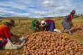 A Primer on Growing Potatoes Organically in the Northeast U.S.A.