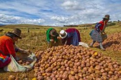 Growing Potatoes Organically in the Northeast U.S.A.