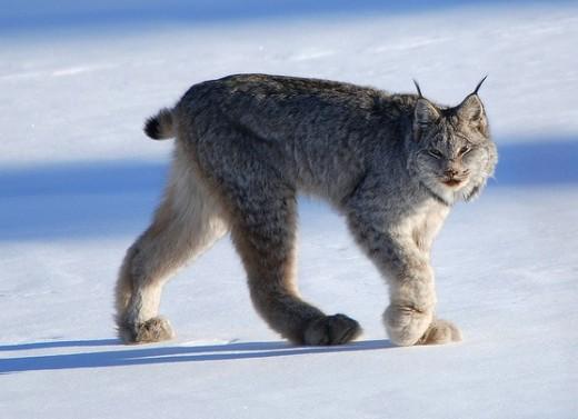 A lynx in the Yukon Territory