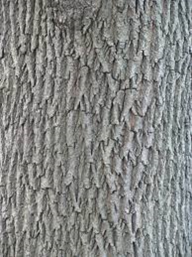 Norway Maple bark