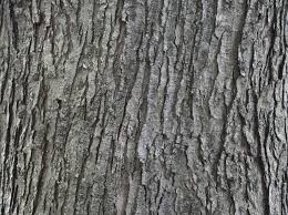Silver maple bark