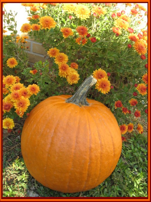 Photo: Ohme's photo of Chrysanthemums in bloom with pumpkin.
